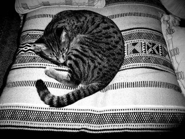 Photography Print featuring the photograph Bengal Catnap by Fareeha Khawaja