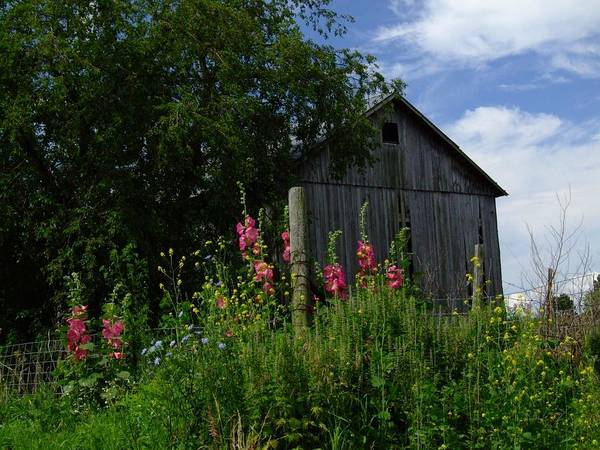 Indiana Farm Print featuring the photograph Hollyhock Barn by Michael L Kimble