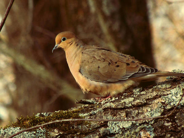 Photo Print featuring the photograph Mourning Dove At Dusk by Amy Tyler