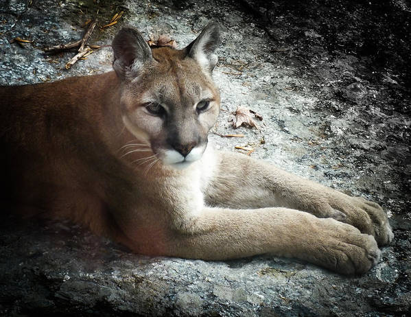 Eastern Cougar Print featuring the photograph Cougar Country by Karen Wiles