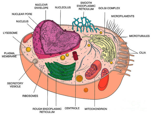 Science Print featuring the photograph Animal Cell Diagram by Science Source