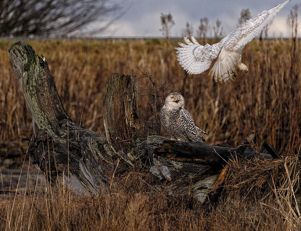 Canada Print featuring the photograph Birds Of Bc - No.14 - Snowy Owl Fly By by Paul W Sharpe Aka Wizard of Wonders