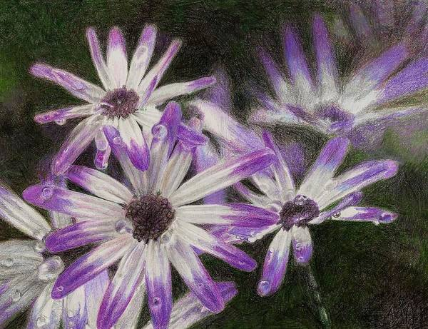 Flowers Print featuring the drawing Senetti Pericallis by Steve Asbell