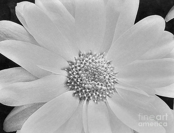 Daisy Print featuring the photograph Daisy Doo by Marsha Heiken