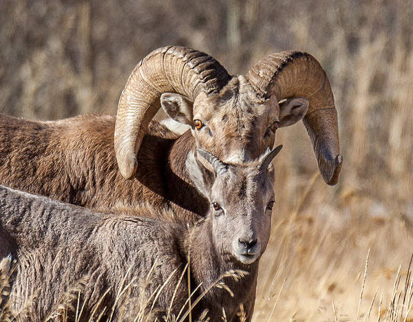 Wildlife Print featuring the photograph Big Horn Little Horn by Kevin Dietrich