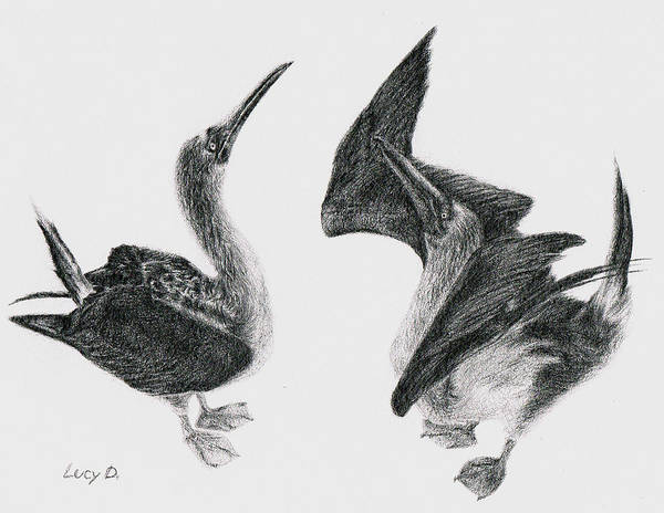 Animals Print featuring the drawing Blue-footed Boobies by Lucy D