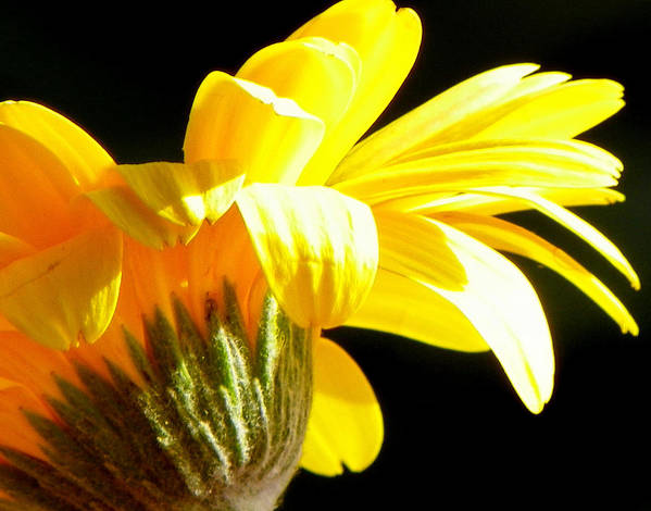 Yellow Flowers Print featuring the photograph Canopy Of Petals by Karen Wiles