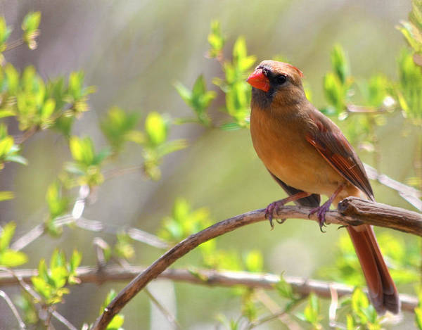 Cardinal Print featuring the photograph Cardinal In Spring by Sandi OReilly