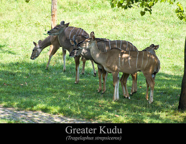 Class Room Posters Print featuring the digital art Greater Kudu by Chris Flees