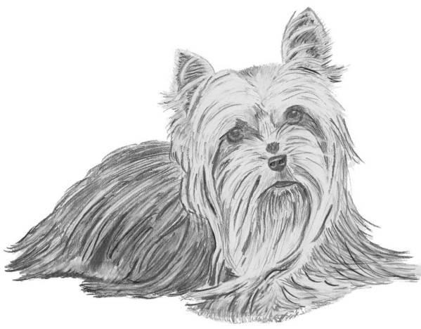 Yorkie Print featuring the drawing Yorkshire Terrier Drawing by Catherine Roberts