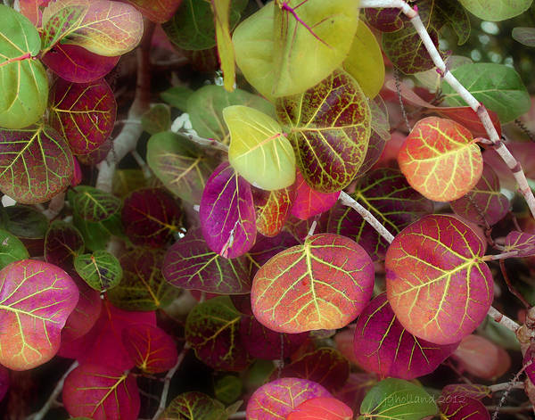 Leaves Print featuring the photograph Sea Grape by Joseph G Holland