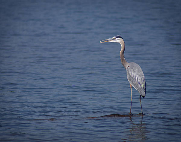 Arkansas Print featuring the photograph 1206-9280 Great Blue Heron 1 by Randy Forrester