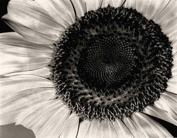 Sunflower Print featuring the photograph The Sunflower by Michael Wade