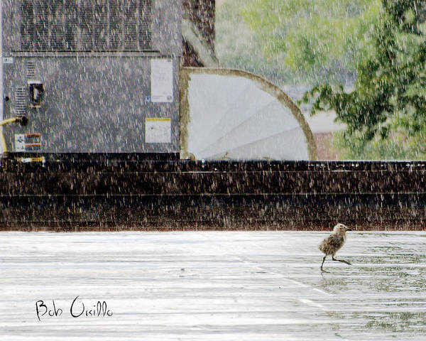 Animal Print featuring the photograph Baby Seagull Running In The Rain by Bob Orsillo