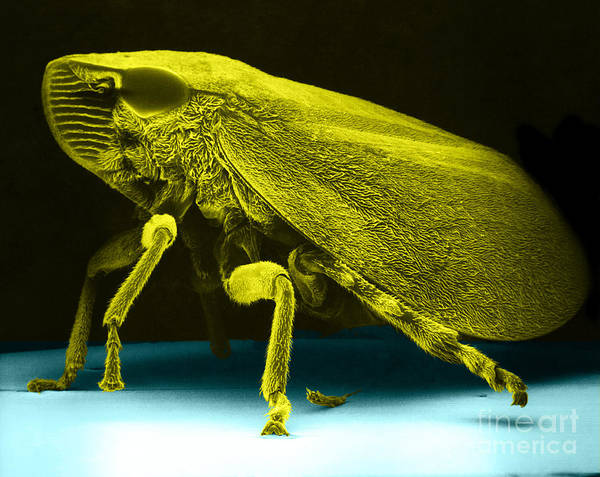 Green And Yellow Sharp-headed Leafhopper Print featuring the photograph Leafhopper, Sem by David M. Phillips