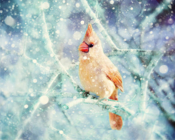 Female Cardinal Print featuring the photograph Peaches In The Snow by Amy Tyler