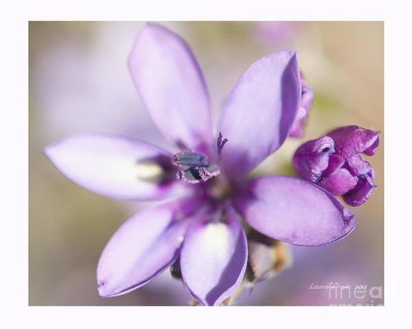 Purple Geranium Print featuring the photograph Purple Geranium 2 by Artist and Photographer Laura Wrede