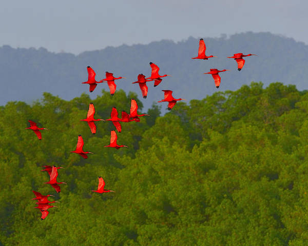Scarlet Ibis Print featuring the photograph Scarlet Ibis by Tony Beck