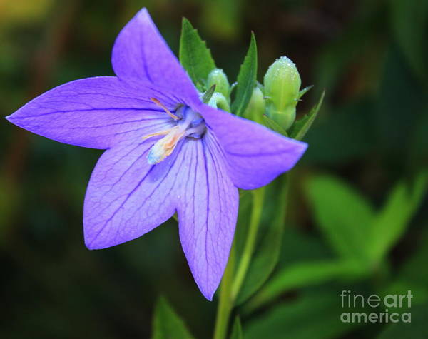 Balloon Print featuring the photograph August Balloon Flower by Marjorie Imbeau