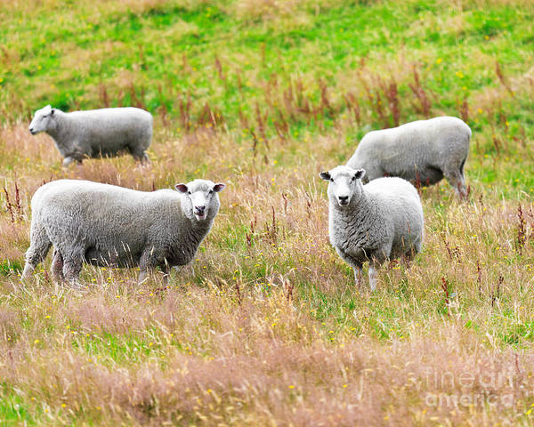 Sheep Print featuring the photograph Sheeps by MotHaiBaPhoto Prints