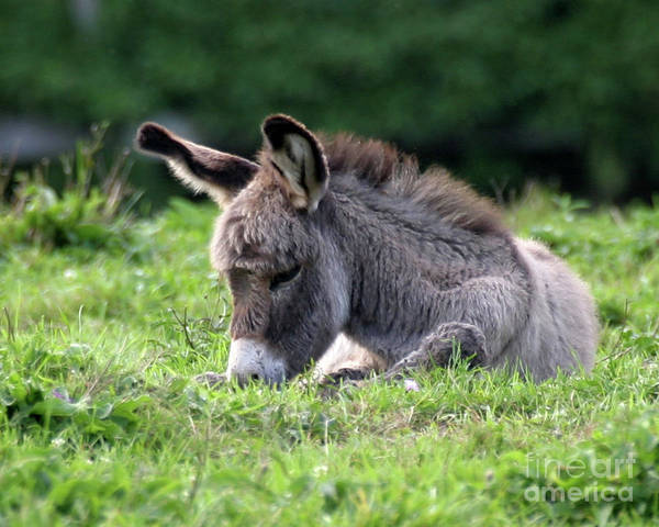 Donkey Print featuring the photograph Baby Donkey by Deborah Smith