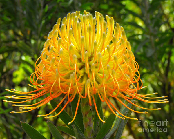 Flower Print featuring the photograph Orange Protea Flower Art by Rebecca Margraf