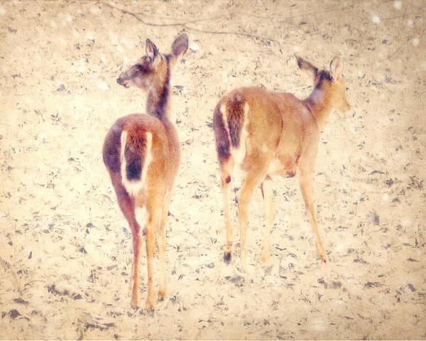White-tailed Deer Print featuring the photograph White Tails In The Snow by Amy Tyler