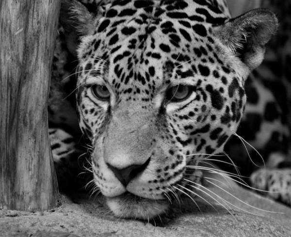 Jaguar Print featuring the photograph Jaguar In Black And White II by Sandy Keeton