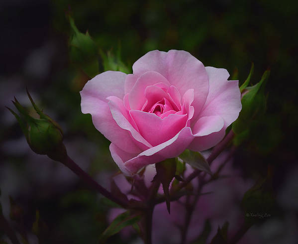 Roses Print featuring the photograph A Pink Rose by Xueling Zou