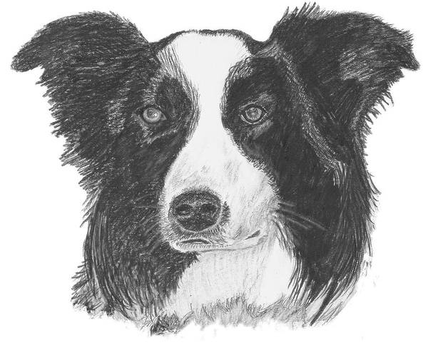 Border Collie Print featuring the drawing English Border Collie by Catherine Roberts