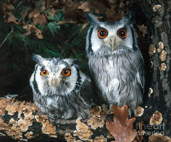 Animal Print featuring the photograph White Faced Scops Owl by Hans Reinhard