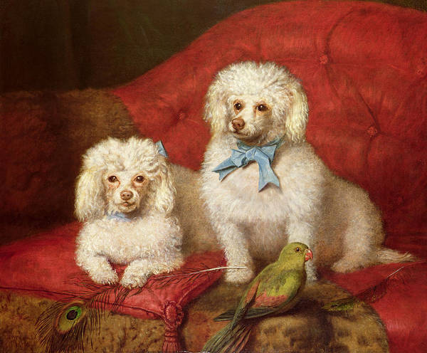 A Pair Of Poodles By English School (19th Century) Print featuring the painting A Pair Of Poodles by English School