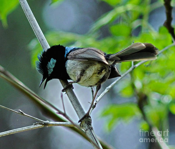 Animal Photographs Print featuring the photograph close up of Superb Fairy-wren by Joanne Kocwin