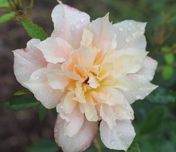 Sorbet Rose Print featuring the photograph Rose by Glenn Lawrence