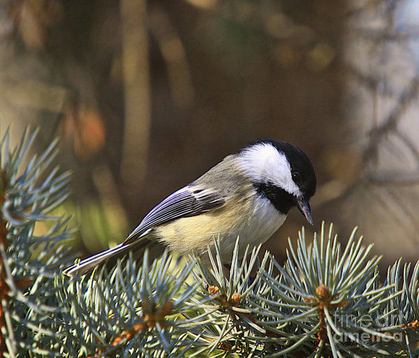Additional Tags: Print featuring the photograph Chickadee-10 by Robert Pearson