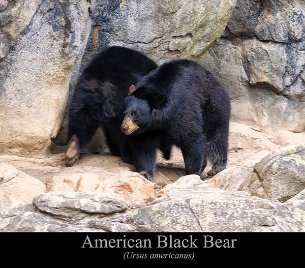 Class Room Posters Print featuring the digital art American Black Bear by Chris Flees