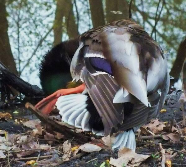 Duck Print featuring the photograph Duck Dance by Anna Villarreal Garbis