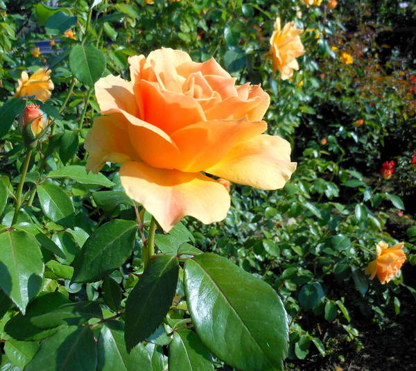 Rose Print featuring the photograph My Love Is Like A Rose by Kay Gilley