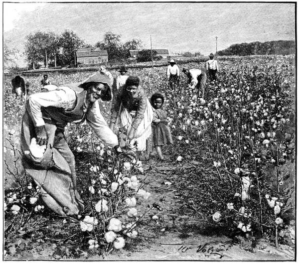 Cotton Plant Print featuring the photograph Cotton Industry, Early 20th Century by