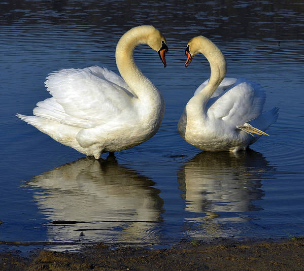 Swans Print featuring the photograph Alpha Swan by Brian Stevens