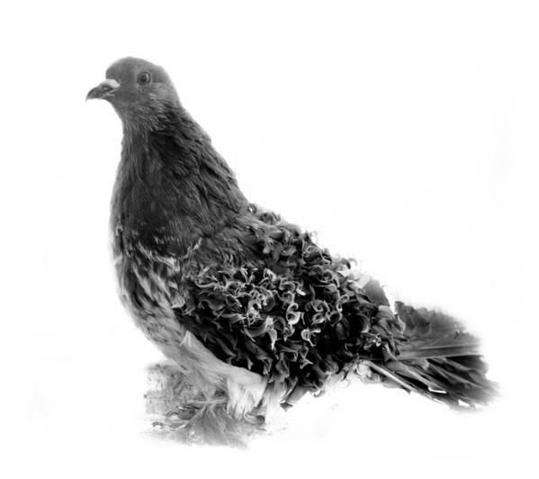 Pigeon artwork