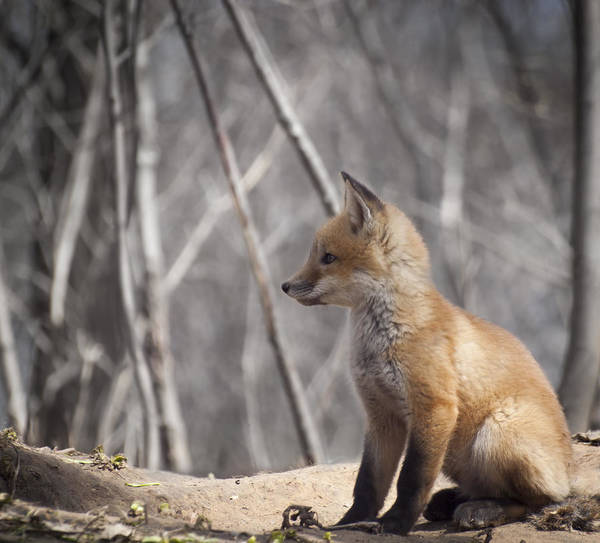 Kit Fox Print featuring the photograph A Cute Kit Fox Portrait 2 by Thomas Young