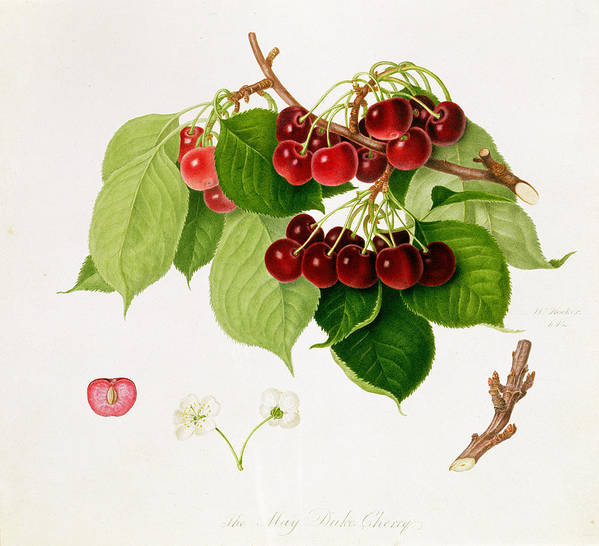 Bunch Of Cherries; Fruit; Seed; Leaves; Branch; Botanical Illustration Print featuring the painting The May Duke Cherry by William Hooker