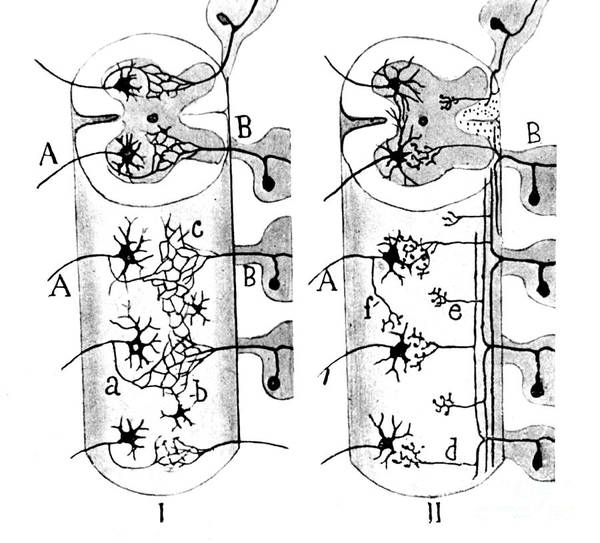 Science Print featuring the photograph Neuroglia Cells Illustrated By Cajal by Science Source