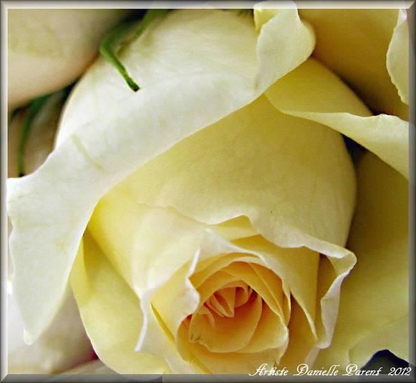 Featured Danielle Parent Print featuring the photograph Sunkissed Yellow Rose by Danielle Parent