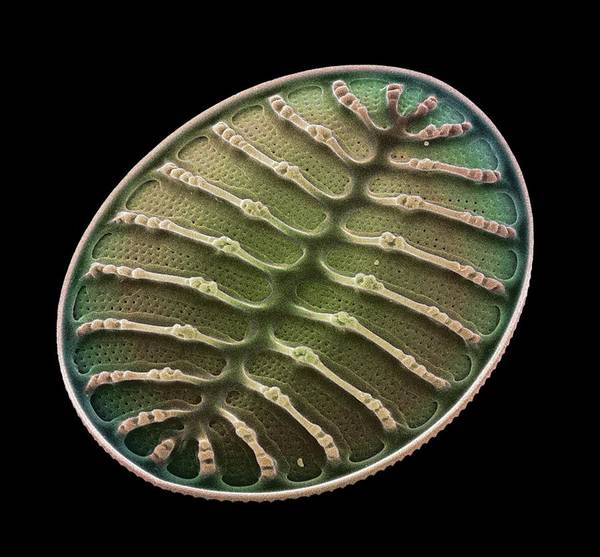 Diatom Print featuring the photograph Diatom Alga, Sem by Steve Gschmeissner