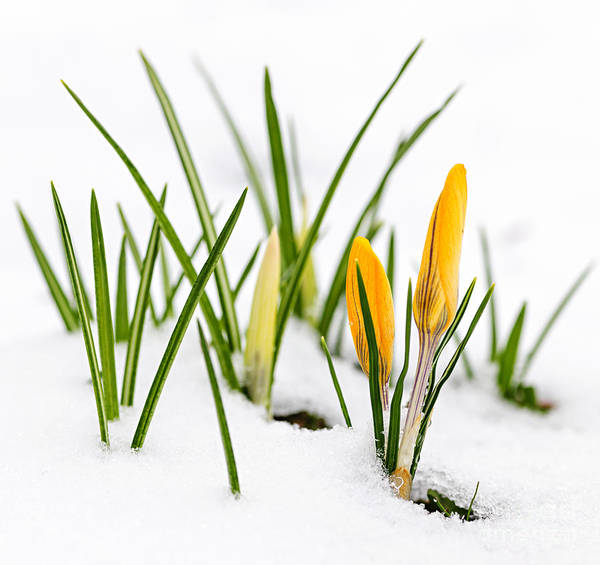 Crocus Print featuring the photograph Crocuses In Snow by Elena Elisseeva