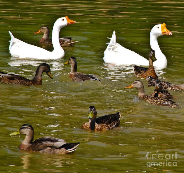 White Geese Print featuring the photograph White Geese And Ducks by Harry Strharsky