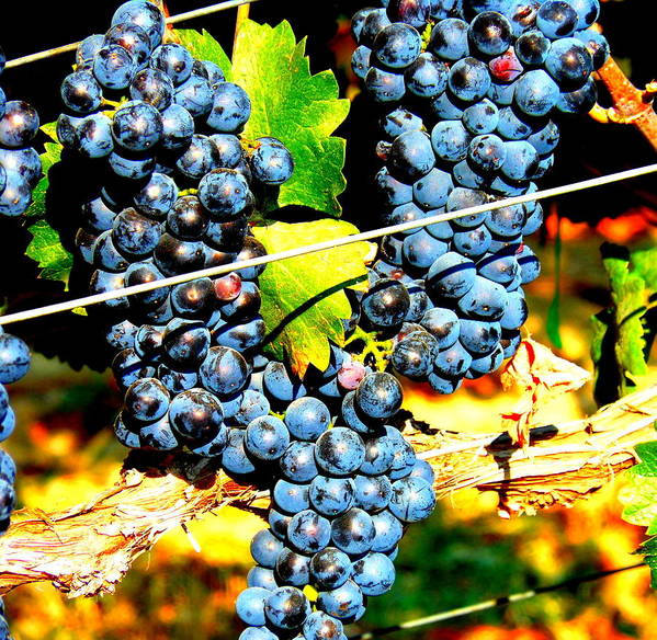 Grapes Print featuring the photograph Grapes On The Vine by Kay Gilley