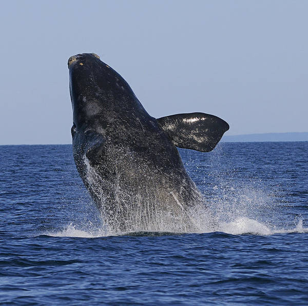 Right Whale Breach Print featuring the photograph Discovering Another Dimension by Tony Beck
